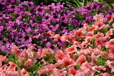 View of cluster of Azalea Flowers at Republic Day Flower Show in Lalbagh, Bengaluru, India, Asia