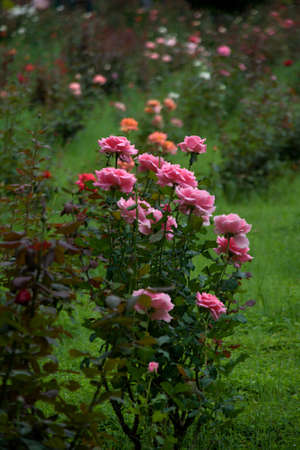 View of rose bush in rose garden against green turf backgrouns Standard-Bild