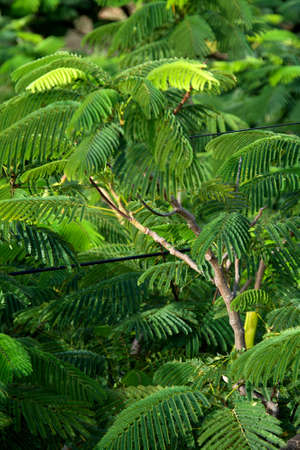 View of green foliage of Delonix regia, commonly called mayflower, tree