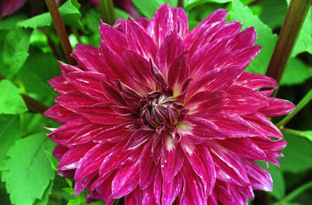 Close-up of dahlia flower with crimson petals in bright green leafy background