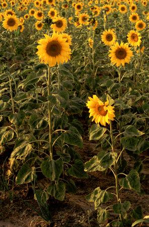 Crop of sunflower plants - Helianthus annuus in field in evening sunlight