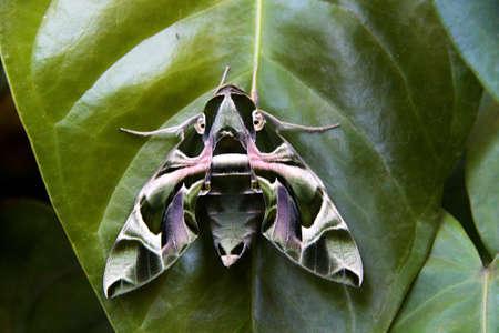 Close-up of Oleander Hawk moth settled down on green leaf