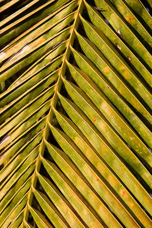 Close-up study of design of compound leaves in coconut tree Standard-Bild