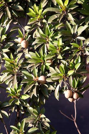 Close-up of bunches of leaves and fruits of Sapodilla or Manilkara zapota or sapota tree Standard-Bild
