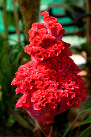 View of conical shaped flower of red cockscomb against blurry background