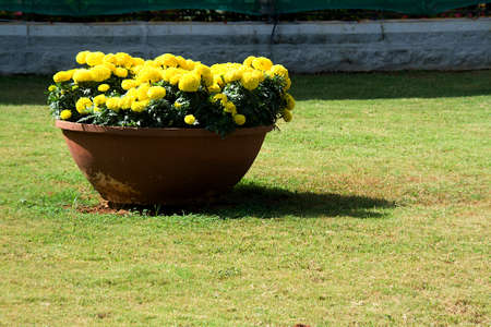 Yellow marigold flowers bloomed in red earthen pot displayed at Republic Day Flower Show in Lalbagh, Bengaluru, Karnataka, India, Asia