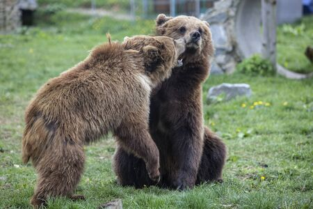 Brown big bears are playing pretending to fight with each other like children, wild nature in a outdoor park