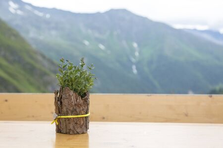 Lovely green plant in a stylish pot made of bark decorated with a ribbon with a heart. Hiking travel outdoor concept, journey in the mountains, Kals am Grossglockner, Austria