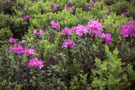 Beautiful summer landscapes in Carpatian mountains, many flowers, rhododendrons. Carpathians, Marmaroshchyna, Maramures, Ukraine