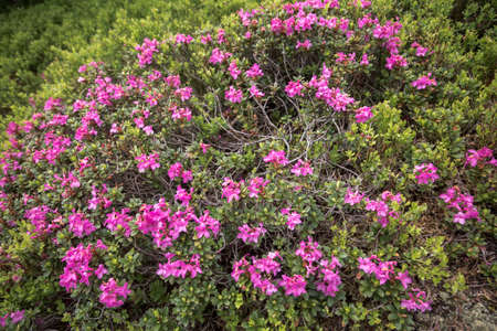 Beautiful landscape of highest mountains,Rhododendron (Alpine Rose) Blooming by the Trails of the Carpatians Stock Photo