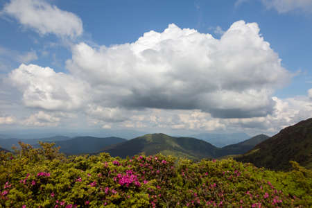 Big cloud over landscape of summer mountains with pink rhododendron