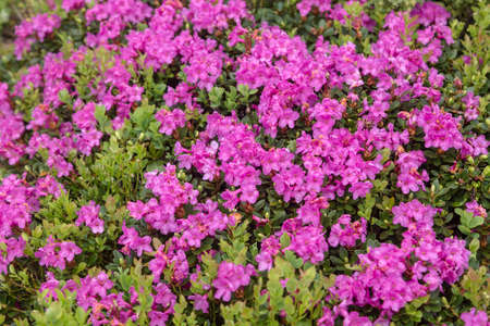 Large isolated group of light purple or lavender colored rhododendrons with a few green leaves peeking through. Stock Photo