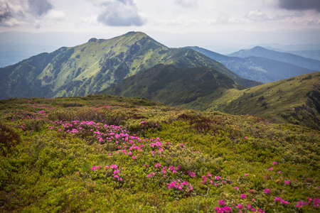 Flowering of Carpathian rhododendron on the Ukrainian mountain slopes, beautiful landscapes and fantastic views.