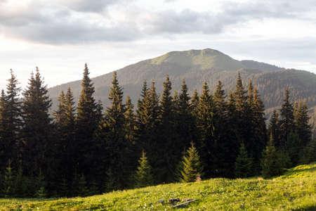 Green meadow, spruce forest and mountain meadow in the evening sun. Mount Berlebashka, Carpathians, Marmaroshchyna, Maramures, Ukraine Stock Photo
