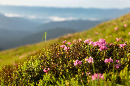 Pink bush of rhododendron flowers on a background of mountain landscape. Carpathian Mountains, Ukraine