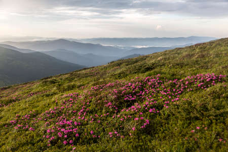Pink bush of rhododendron flowers on a sunset with a background of mountain landscape. Carpathian Mountains, Ukraine Stock Photo