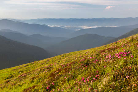 Mountain hill covered with flowering pink rhododendron. Beautiful flowered landscape of highest Carpathian mountains on a sunset