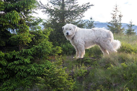 Shepherd curly white dog stands between the trees lit by the evening sun. Carpathian mountain sheep keeper Stock Photo