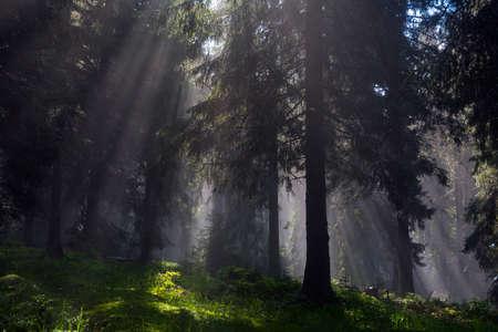 Foggy summer forest backlight with sun creating fantastic scenery, Carpathians mountains, Ukraine