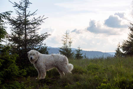 A shepherd curly white dog stands in the woods and mountains landscape