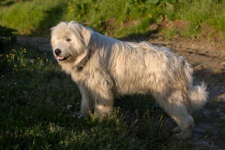 Shepherd curly white dog illuminated by the evening sun