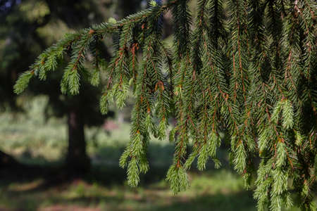 Young tassels of spruce are illuminated by the morning sun. Branches after the rain in the summer forest