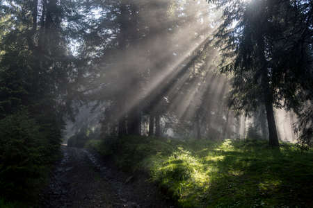 Forest hiker's road under sunrise sunbeams. Foggy summer forest backlight with sun creating fantastic scenery