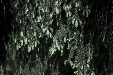 Young tassels of spruce are illuminated by the morning sun. Branches in the summer forest