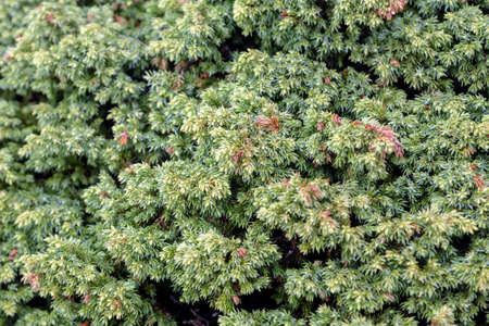 Macro of juniper branch pattern. Background with juniper branches grow close-up