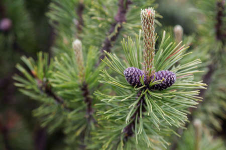 A green pine branch with cones on a natural background