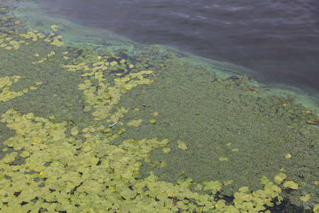 Aerial view of pond with yellow waterlily flowers, green leaf, duckweed in a summer day. pollution of the river due to stagnant water