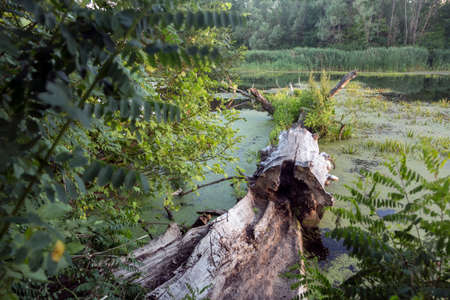 A wooden log lies in a river overgrown with duckweed. Rest on a wild natural floodplain