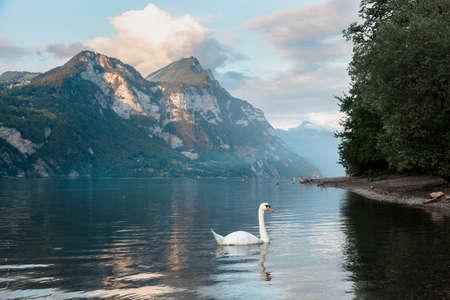 White swan, mountains, steep rocks and hills around a Walensee lake, The Churfirsten, Switzerland