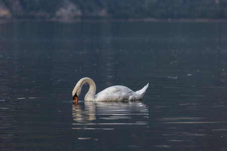 A lone, white Swan looks at the water. A beautiful Swan swims on the lake in the evening in search of food. Lake Walensee in Swiss Alps, Switzerland