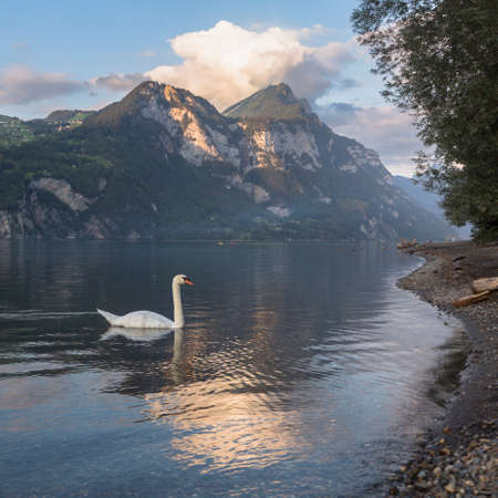Swan on the wave and beautiful alpine sunset view with reflections at the Lake Walensee in Swiss Alps, Switzerland