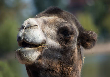 camel in the hottest hours of the day