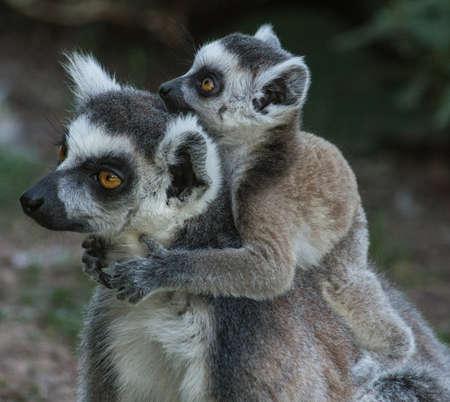The little Lemur lovingly hugs his parent