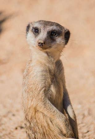 The little meerkat observes distant movements carefully