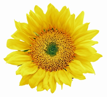One Sunflower Head Isolated on a White Background Stock Photo - 9059079