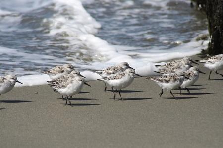 サンドパイパー鳥
