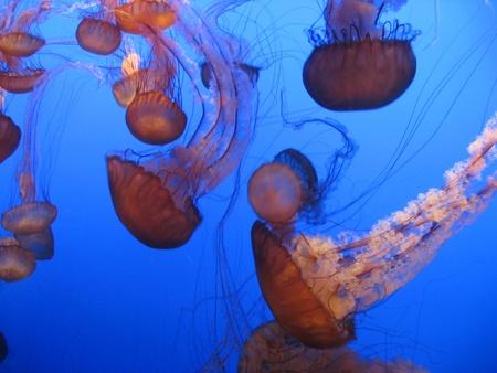 luminescent: Monterey Bay Aquarium Jellyfish