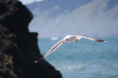 Soaring Seagull photo