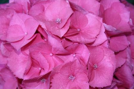 ピンクのアジサイのクローズ アップ