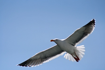 gulls: Soaring Seagull on a Blue Sky