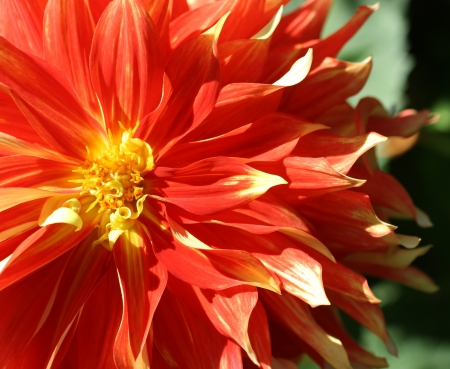 Orange   Yellow Dahlia photo