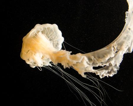 海のイラクサ クラ ゲ