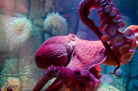 Giant Pacific Octopus Standard-Bild