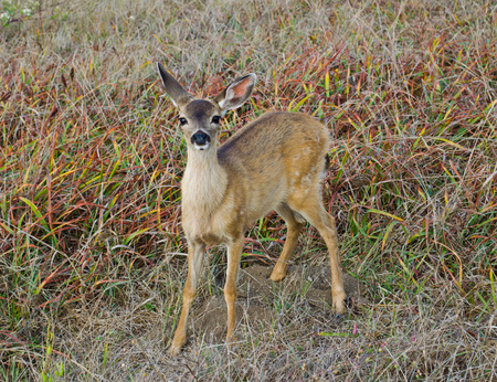 black tail deer: Black Tail Mule Deer Fawn