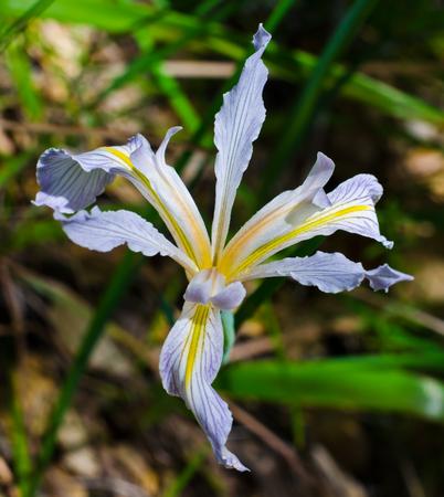 blooming  purple: Wild Iris Stock Photo