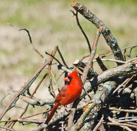 Northern Red Cardinal Perched on Branches